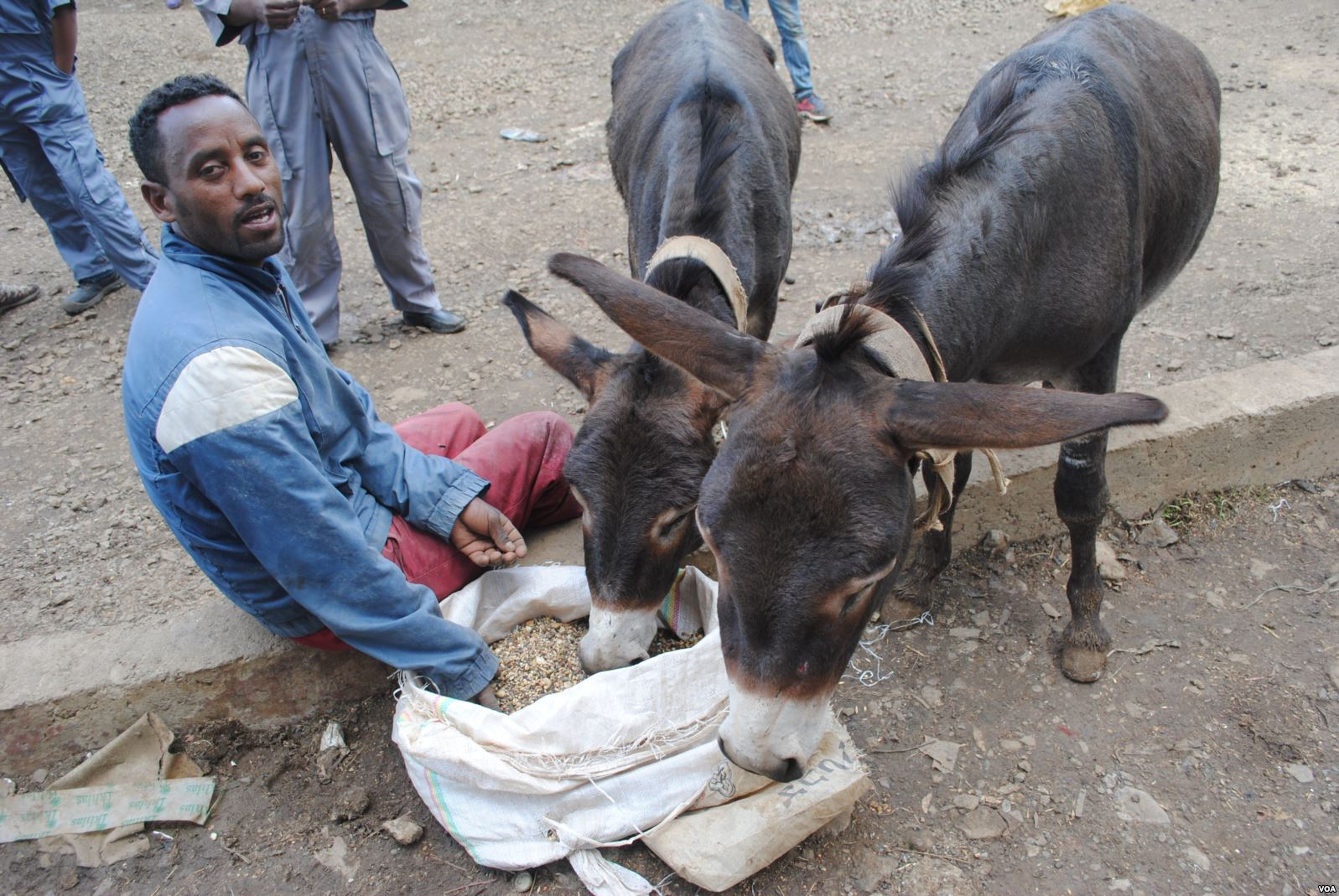 A donkey owner gives his animals healthier food in Ethiopia, where an estimated seven million donkeys are used for transporting water, wood, building materials and people.