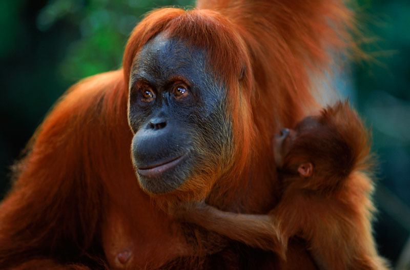 Sumatran orang utan (Pongo abelii) female 'Suma' reunited with male baby 'Forester' (part of baby snatching story) Gunung Leuser NP, Sumatra, Indonesia © naturepl.com/Anup Shah / WWF
