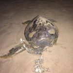 Another dead turtle found on Kartong beach