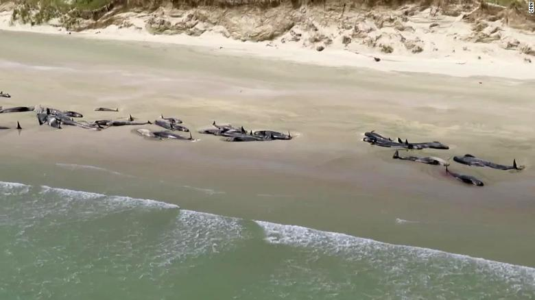 Two pods of whales were stranded in Mason Bay on Stewart Island in New Zealand (Photo: CNN)