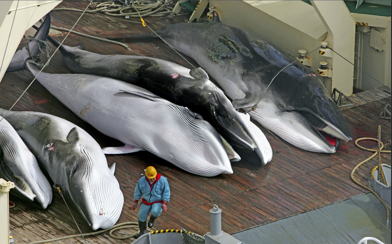 Dead whales on deack of the Japanese Whaling Ship Nishin Maru