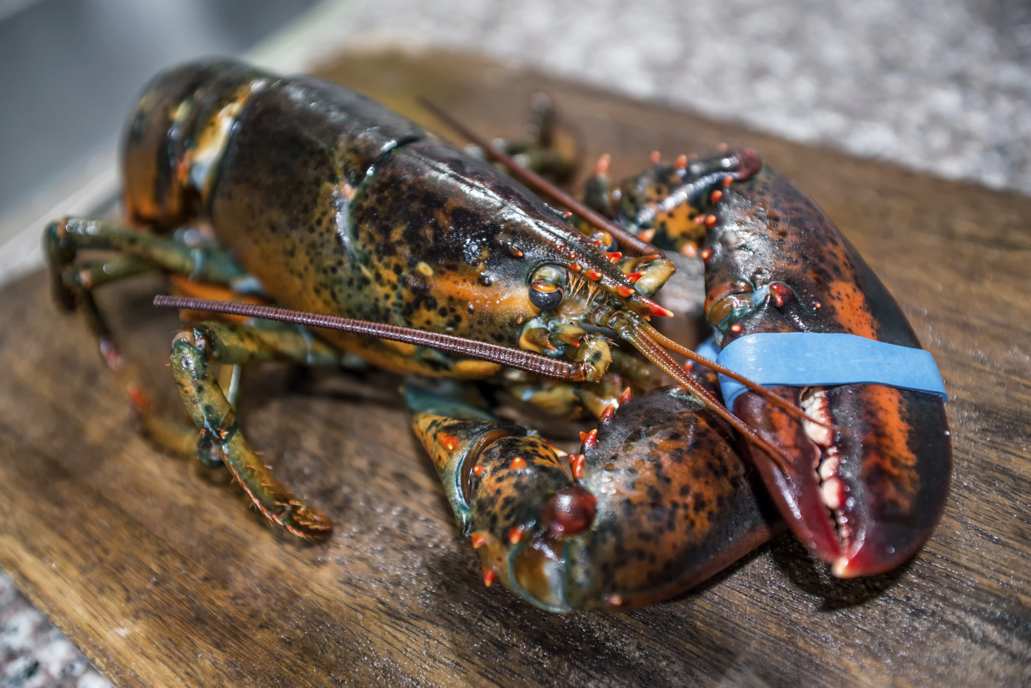 Plastic found inside lobster being prepared for meal in Edinburgh