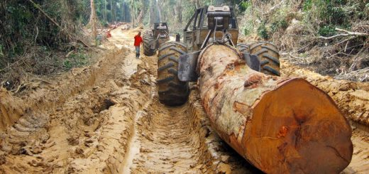 Illegal logging in the Congo, the last untouched rainforest of our planet is in great danger