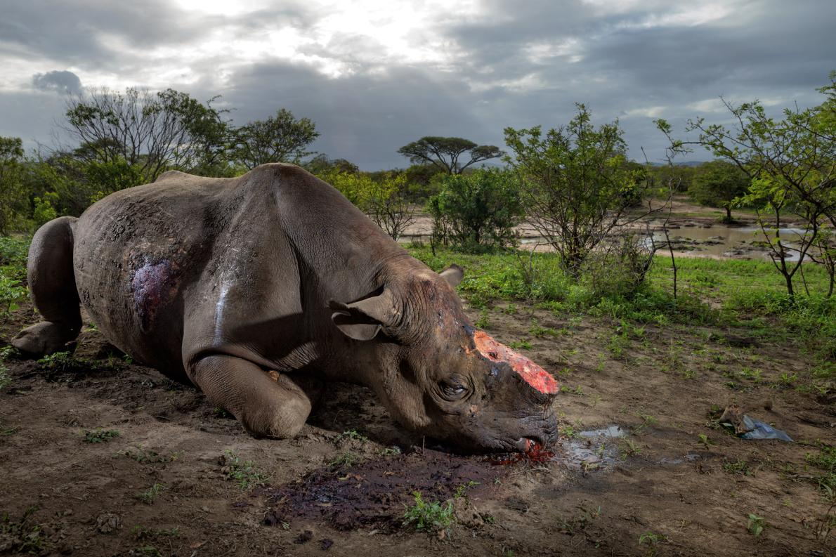 Poachers killed this black rhinocerous for its horn with high-caliber bullets at a water hole in South Africa's Hluhluwe-Imfolozi Park. They entered the park illegally, likely from a nearby village, and are thought to have used a silenced hunting rifle. Black rhinos number only about 5,000 today. Photo by: Brent Stirton