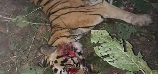 Brutal: Villagers living near the tiger reserve entered the forest to track down the animal after it killed a man in Uttar Pradesh, northern India (Photo: Caters News Agency)