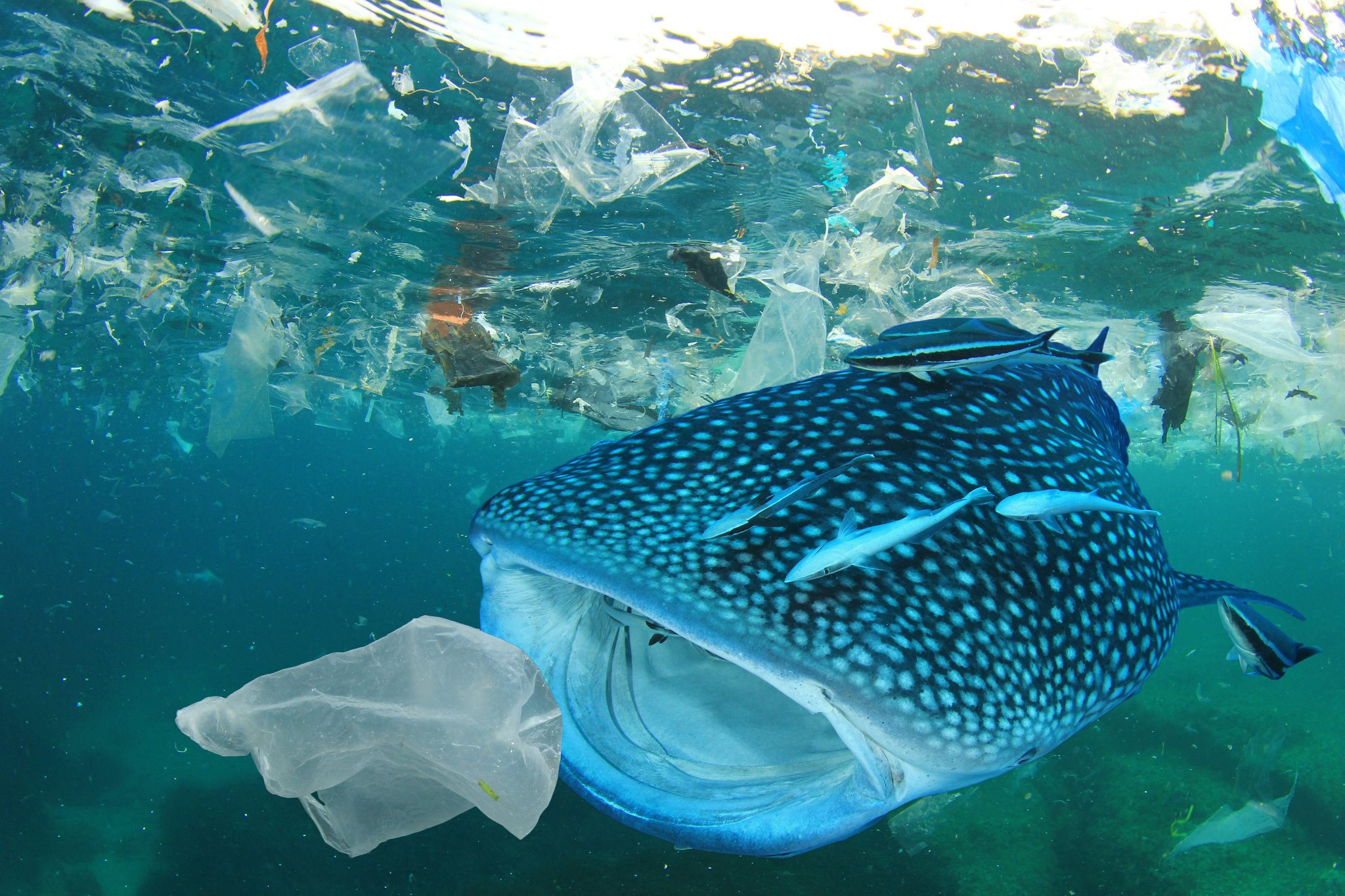 Whale shark eating plastic in asia