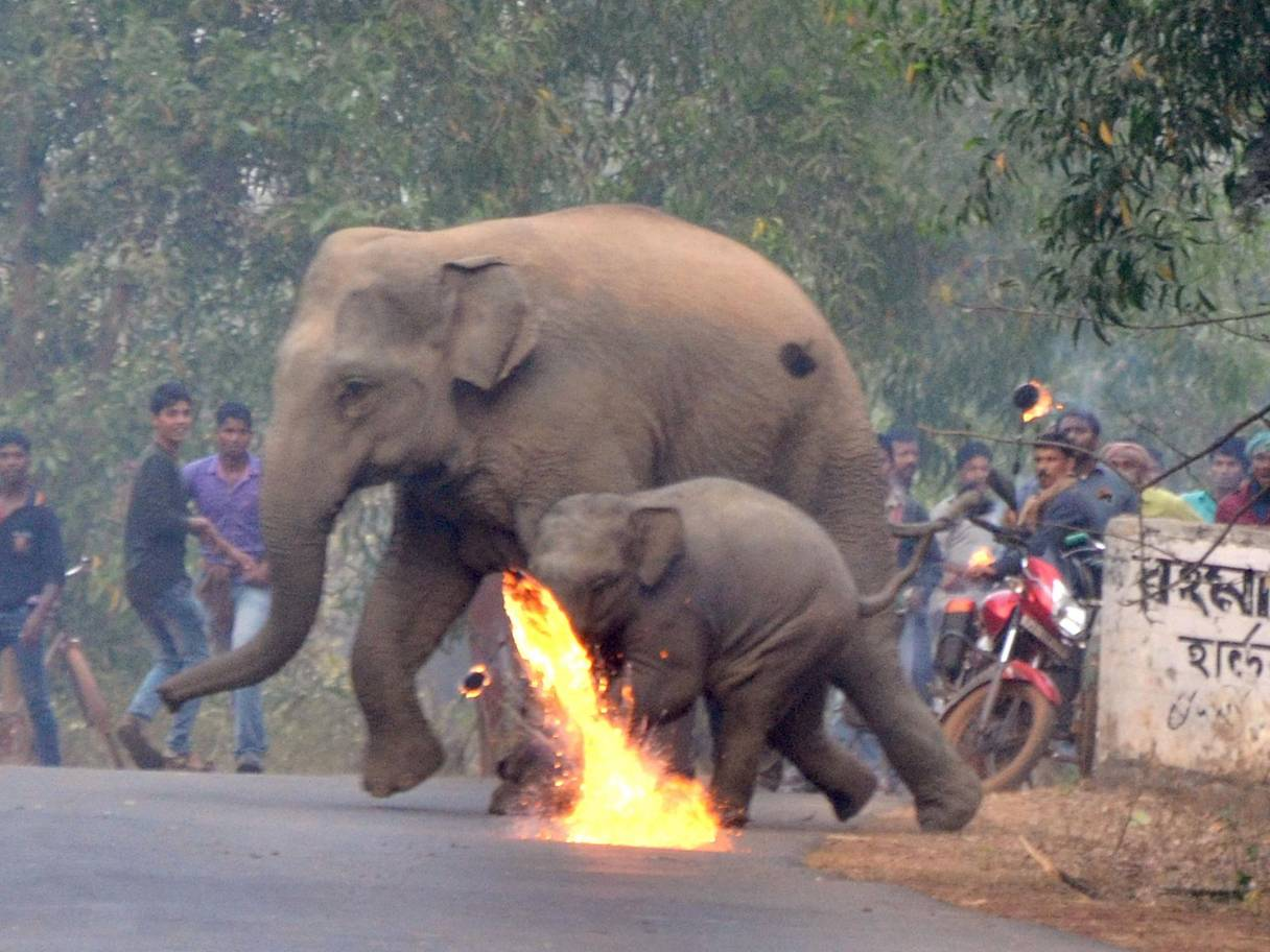 A firebomb explodes and more rain down on a pair of fleeing elephants in the remote Indian village of Bishnupur. Photo Caters News