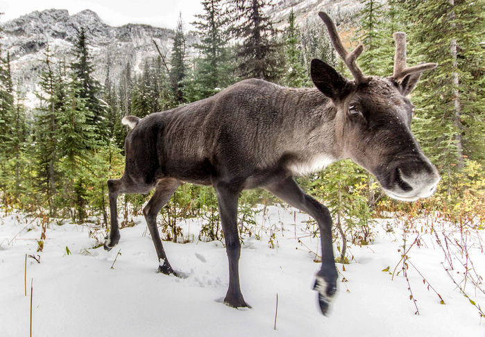 A caribou that was part of the Southern Selkirks herd, which once traversed the U.S.-Canada border. Biologists captured the last member of the herd this week. DAVID MOSKOWITZ