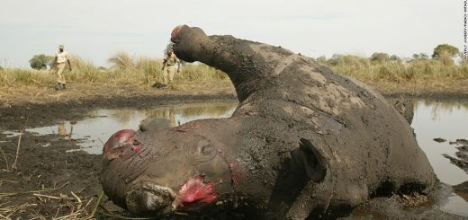 Eleven Rhino's Killed In Botswana