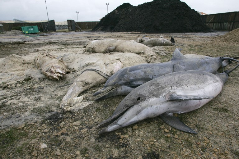 Over 600 dolphins have washed up dead on France's beaches AFP PHOTO MICHEL GANGNE (Photo by MICHEL GANGNE / AFP)
