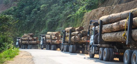 Deforestation by Chinese Companies In Cameroon