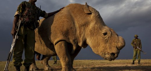 Sudan, Kenya's last Rhino who was 45, lived at the Ol Pejeta Conservancy in Kenya died last year. The species is now extinct due the Chinese demand for Rhino horn.