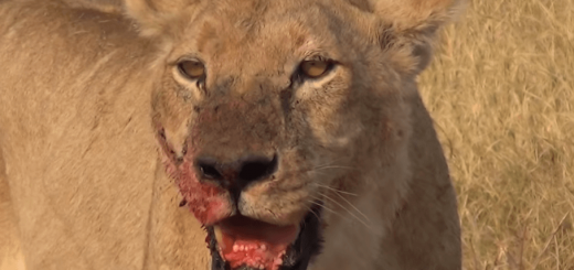 Lions eat poachers alive in South Africa