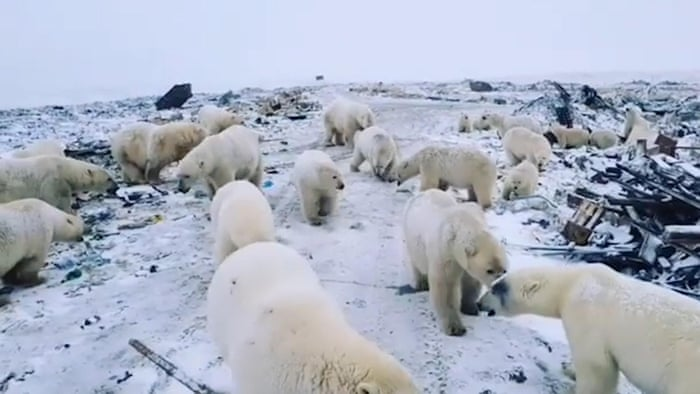 Russian Islands Declare Emergency After Mass Invasion Of Polar Bears