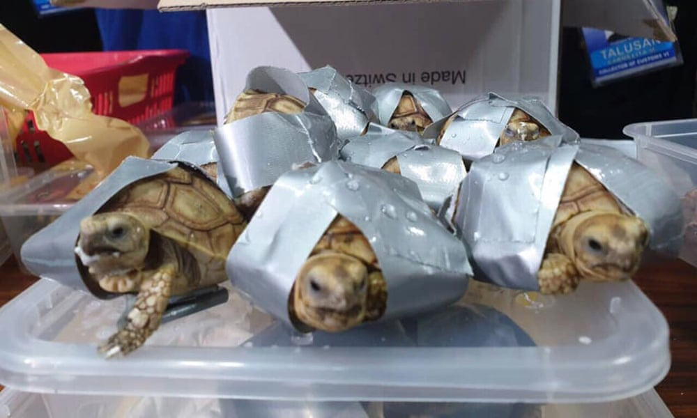 1,529 live turtles - including Star Tortoise, Redfoot Tortoise, Sulcata Tortoise, Red-eared Slider species were found inside suitcases abandoned in an airport in Manila. Photograph: BUREAU OF CUSTOMS NAIA/Facebook