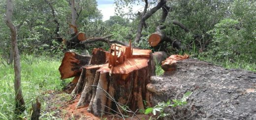 illegal logging of rare trees in namibia