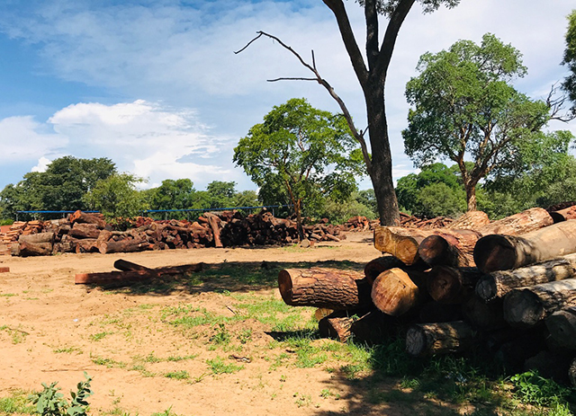 68 000 rare trees cut in Kavango East – Shifeta