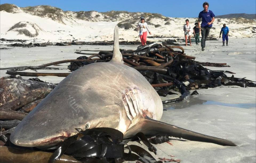 Dead Bronze Whaler Sharks Litter The Shores Of Gansbaai, South Africa