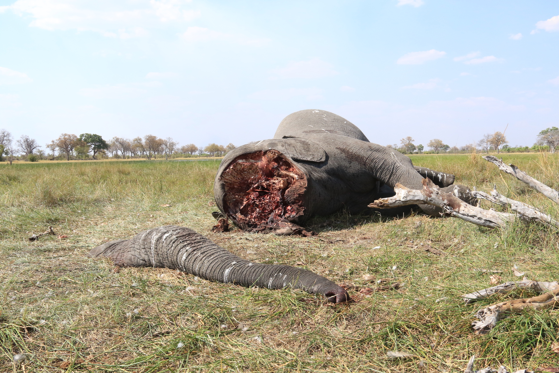 elephant_poaching_botswana Image supplied by Elephants Without Borders