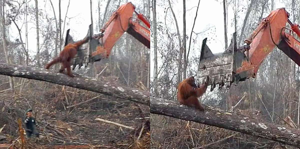 Orangutan Fighting Excavator In Borneo To Protect His Home