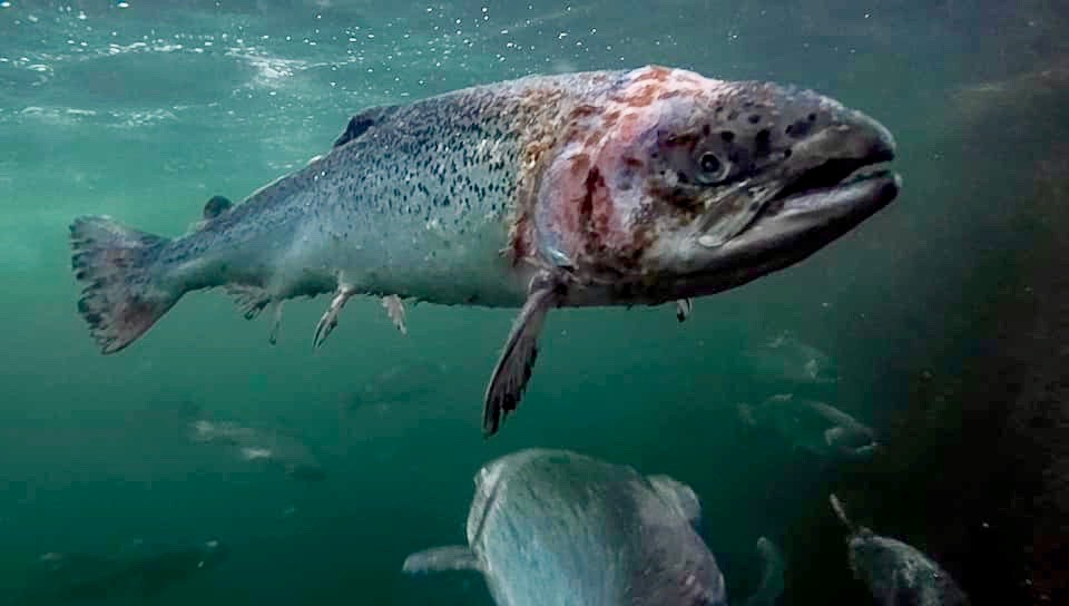 Nine Million Fish Killed By Diseases At Salmon Farms in Scotland