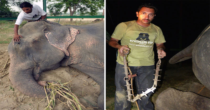 Elephant Raju Weeps While Being Rescued After 50 Years Of Confinement