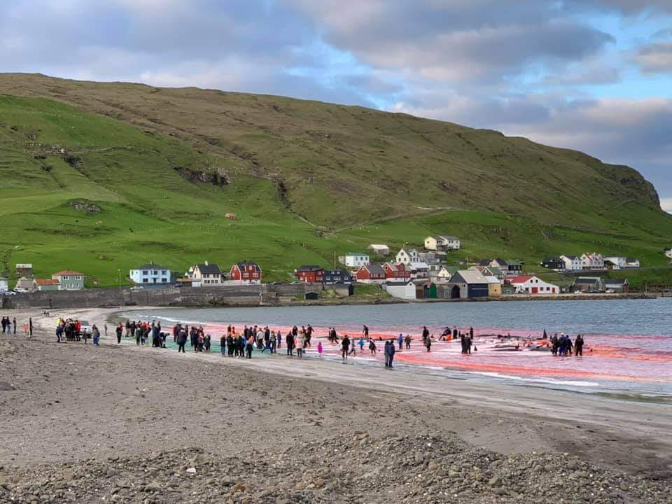 Faroe Islands: Another 40 Pilot Whales Murdered in the 5th Grind this Year