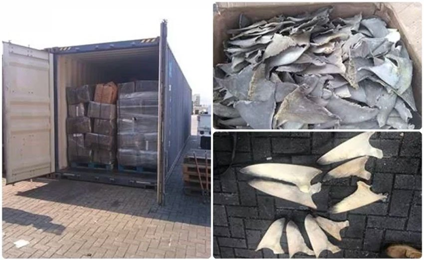 Mexico: Customs agents seize 10 tonnes of shark fins in Manzanillo