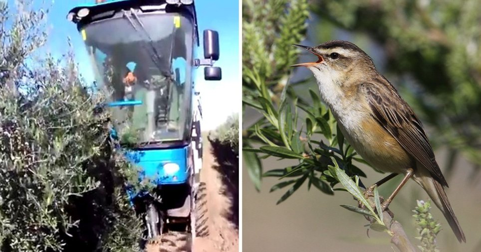 Mediterranean Olive Harvest: Millions of Songbirds Vacuumed to Death Every Year