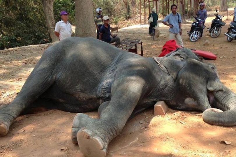 Cambodia Stops Cruel Elephant Rides At Famous Temple Ankor Wat