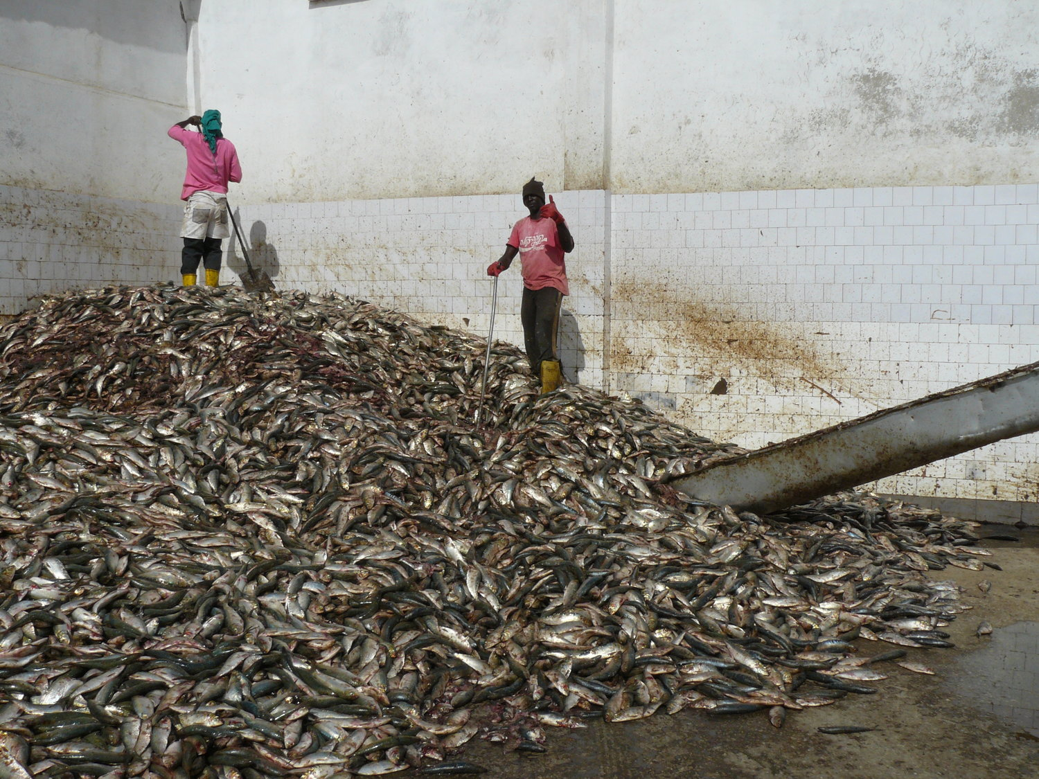 Export of Fish Meal from Africa a Threat to Millions in Africa, say Greenpeace