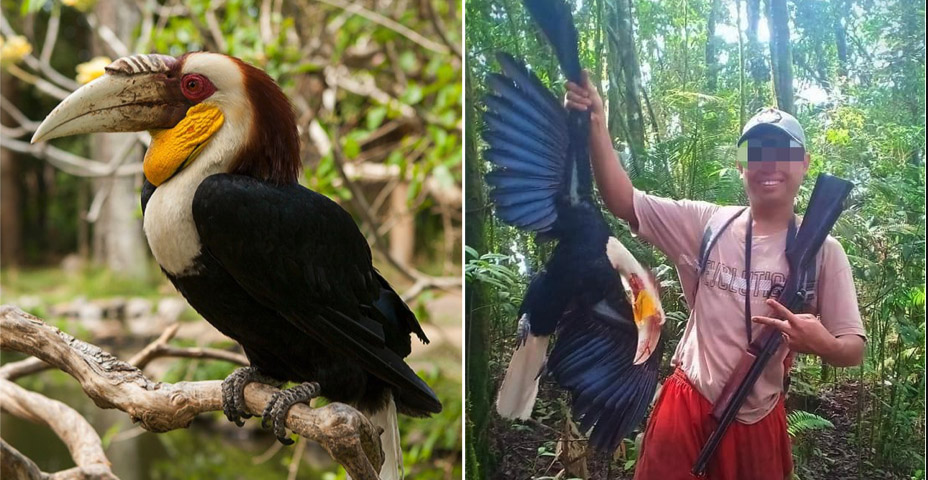 Man Proudly Kills Endangered Hornbill and Shows Off Online, Now Faces 5 Years In Jail
