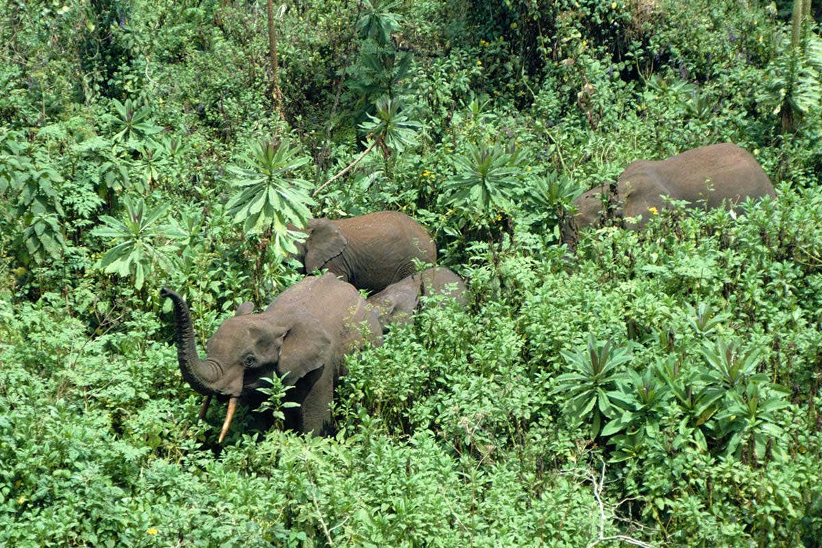 Elephants help forests store more carbon by destroying smaller plants