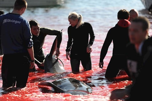Faroe Islands: How Much Whales Were Murdered This Year So Far? The Facts
