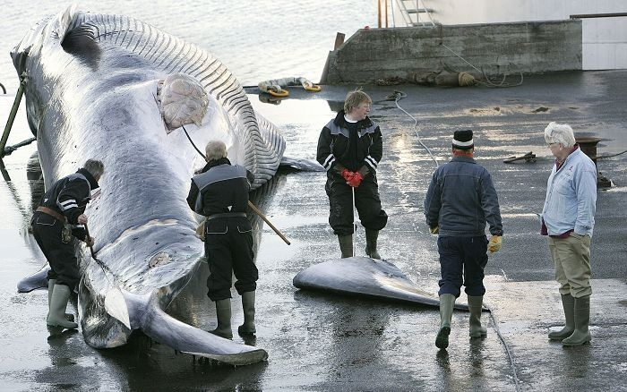 Iceland Plans to Kill Over 2000 Whales Within the Next Five Years