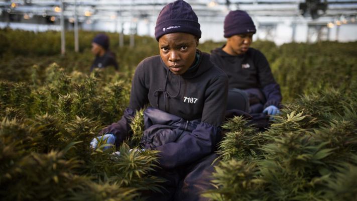 Zambia Legalized Cannabis Production to Boost Economy